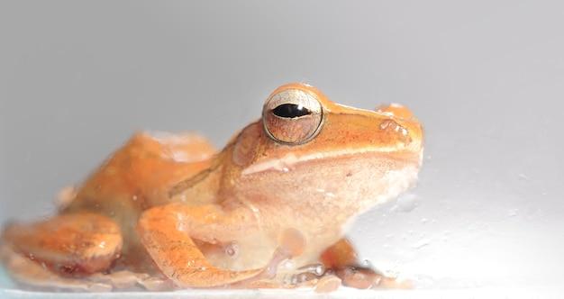 Крупный план общей оранжевой лягушки куста.