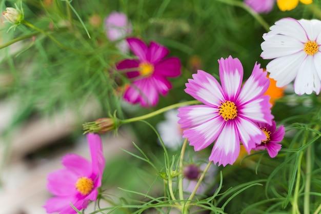 Крупным планом цветы космоса в саду