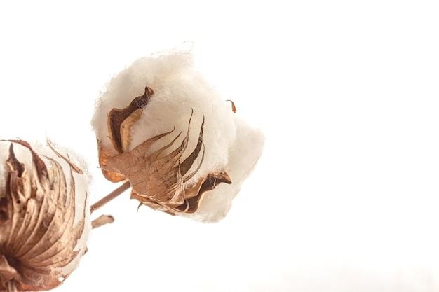 白い背景で隔離の綿の植物の花のクローズアップ