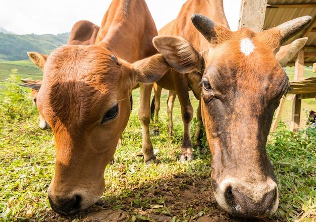Крупным планом коров, едящих траву на природе