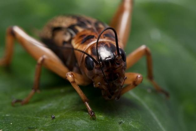 葉のクリケット昆虫のクローズアップ