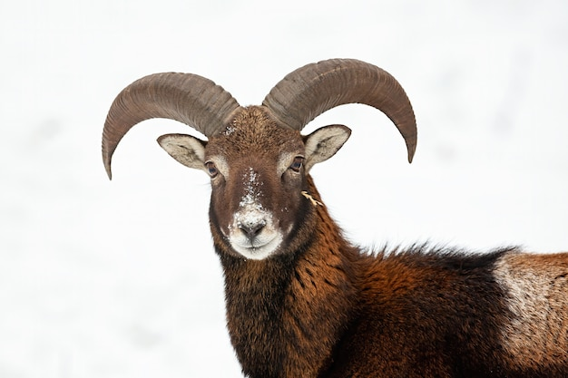 Конец-вверх любознательного одичалого mouflon в зимнем времени.