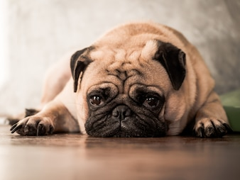 Close up of cute pug dog lying down on wooden floor at home.