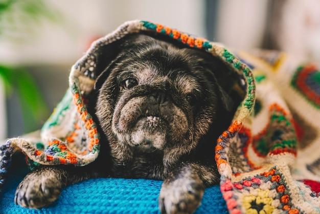 自宅の毛布で覆われた青いベッドでリラックスしたかわいいパグの子犬のクローズアップ。自宅の毛布の下でリラックスした時間を過ごしている黒いlzayパグ犬