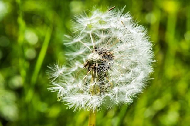 牧草地のタンポポの花のクローズアップ