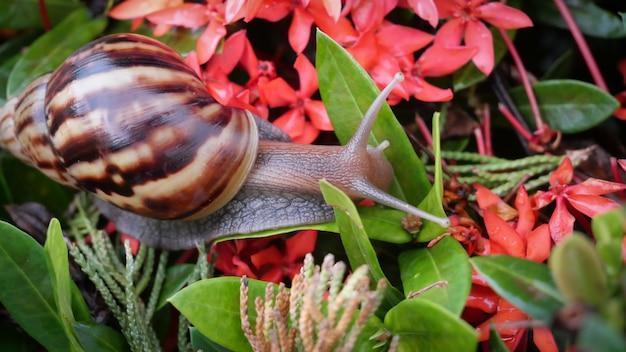茶色の縞模様の殻を持つ暗いアシュタナカタツムリのクローズアップ。