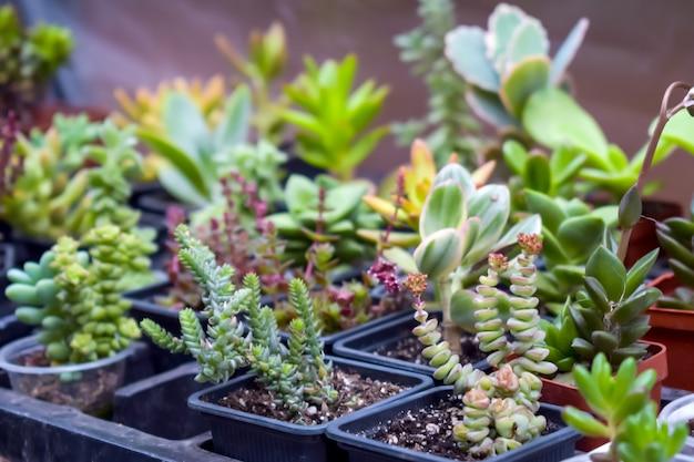 Крупным планом различных сортовых агавы суккулентных растений в горшках