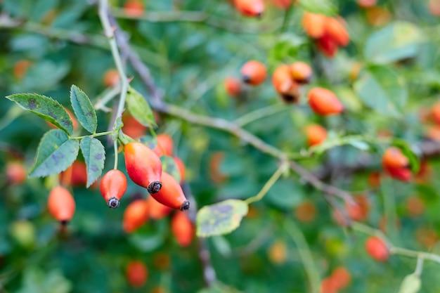枝の犬バラの果実のクローズアップ。クローズアップ、セレクティブフォーカス