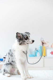 Close-up of dog with stethoscope on table