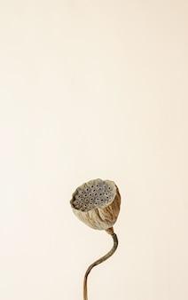 베이지 색 배경에 건조 연꽃의 클로즈업