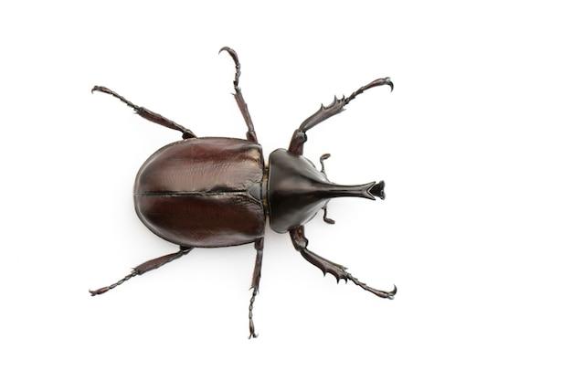 절연 dynastinae 곤충의 클로즈업