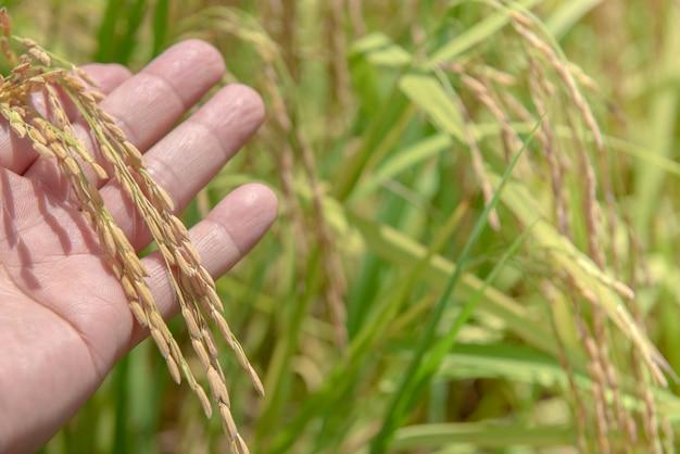 한편, 쌀 필드 배경, 태국 쌀의 귀 닫습니다.
