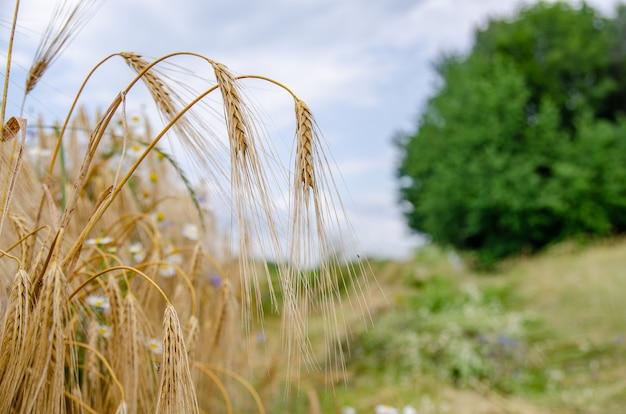 熟した小麦の穂のクローズアップ。