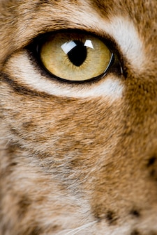 Крупный план глаз евразийской рыси, lynx lynx,