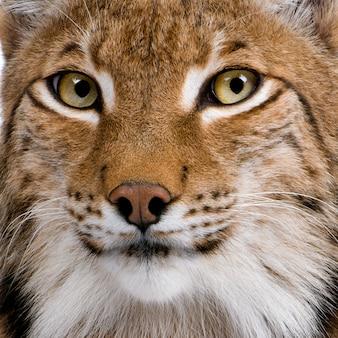 Крупный план евразийской рыси, lynx lynx,