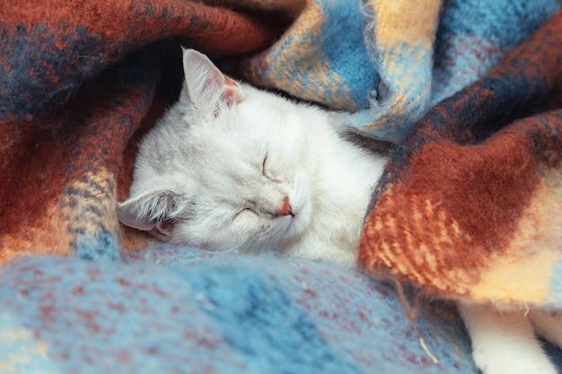 顔のかわいい英国のチンチラ猫のクローズアップ。子猫は暖かい色の毛布に包まれて眠ります。冬、寒い。