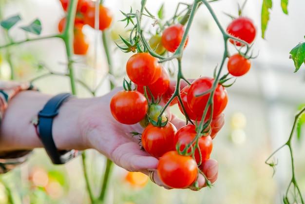 그린 하우스에서 빨간 토마토를 수확하는 농부 손 클로즈업.