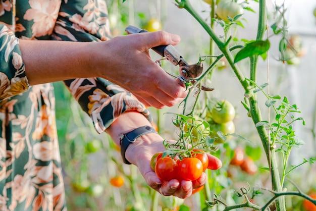 温室で赤いトマトを収穫する農家の手のクローズアップ