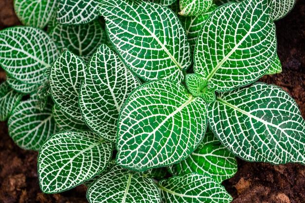 アミメグサ白いアンの葉の自然のテクスチャのクローズアップ