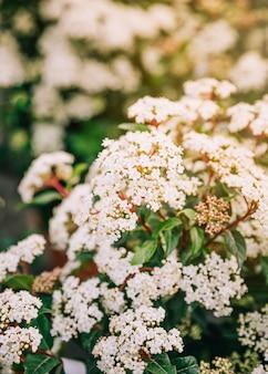 開花低木ブライダルリーススピレアのクローズアップ