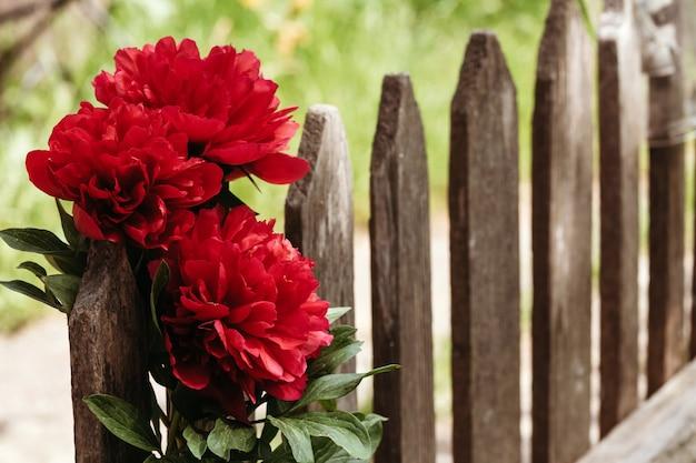 Крупный план цветов пионов. красивый цветок пиона для каталога или интернет-магазина. концепция цветочного магазина. красивый свежесрезанный букет.