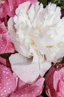 Крупный план цветов пионов. белые и розовые пионы крупным планом. фоны для блогеров, мастеров красоты.