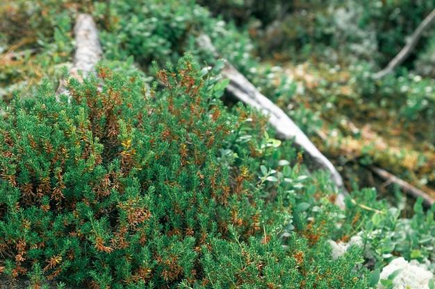 Крупный план лесных северных растений