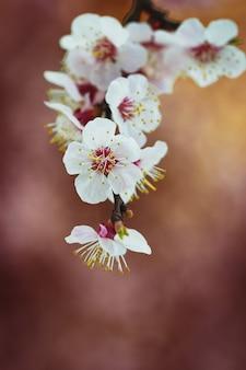 깨지기 쉬운 체리 사과 살구 꽃이 만발한 나무 닫습니다.