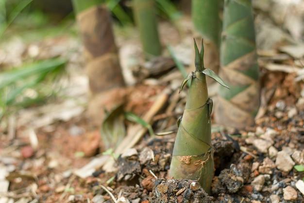 新鮮な竹の撮影を閉じます。