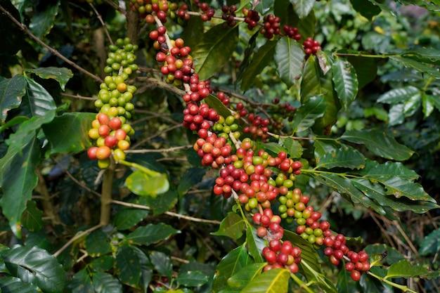 チェンマイ県メーワン地区の高地で栽培されたアラビカ種の淹れたてのコーヒー豆のクローズアップ。