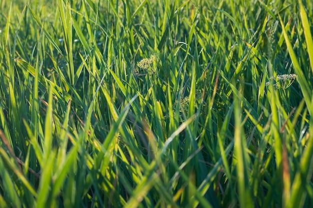 Крупным планом свежей травы рано утром фон