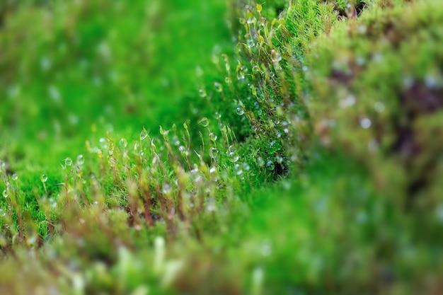 Крупный план свежего зеленого мха в теплице на размытом фоне с селективным фокусом. снимок сделан в ботаническом саду. москва, россия.