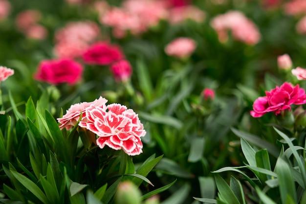 新鮮な空気の上の美しいピンクと赤の花と新鮮な緑の植物のクローズアップ。温室でさまざまな色の花を持つ信じられないほどの植物の概念。
