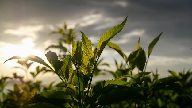 夕方の日光と新鮮な緑の植物のクローズアップ