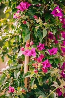 新鮮なピンクのブーゲンビリアの花のクローズアップ