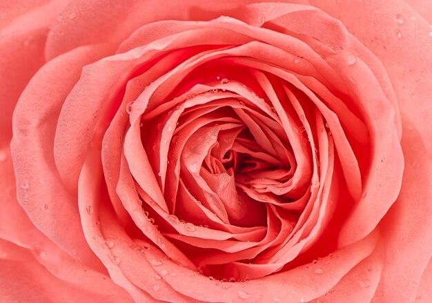 Крупным планом свежий розовый цветок розы с каплями воды
