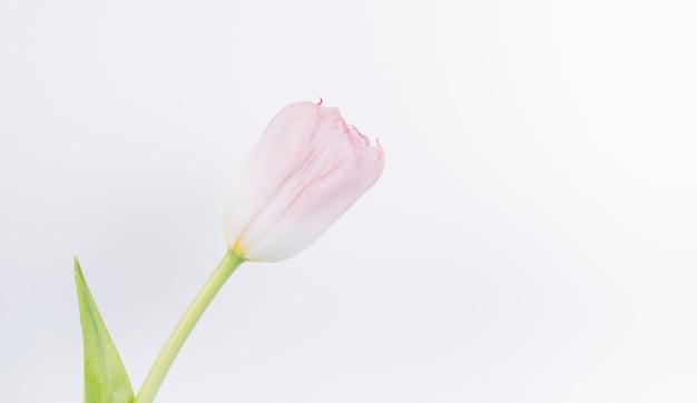 白い背景の上の新鮮なピンクのチューリップの花のクローズアップ