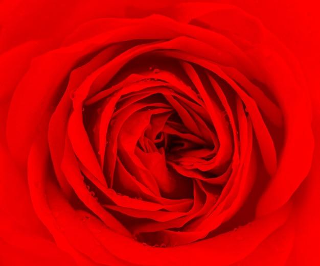 Крупным планом свежий красный цветок розы с каплями воды