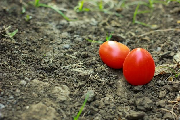 土壌の背景に新鮮な完熟トマトのクローズアップ