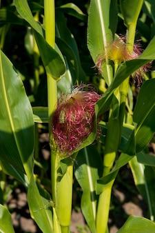 先端に毛のある新鮮な小さなトウモロコシの穂軸のクローズアップ。