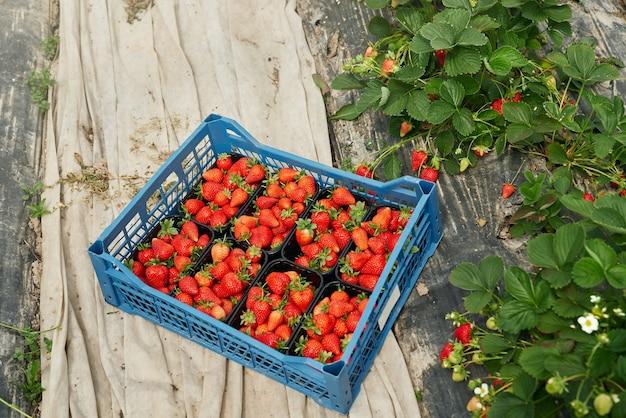 Крупным планом свежей вкусной клубники внутри большой корзины