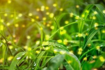 早朝の水滴と新鮮な厚い芝生のクローズアップ