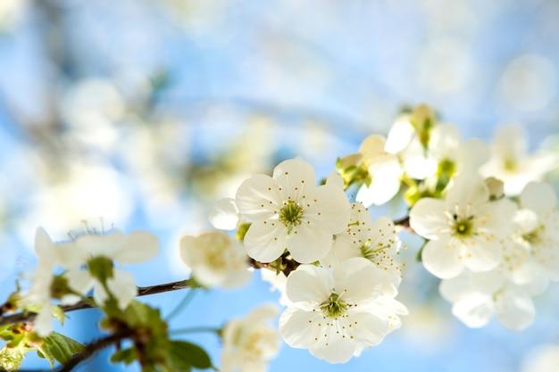 Закройте вверх свежих белых цветущих цветов на ветвях дерева с размытым фоном голубого неба ранней весной.