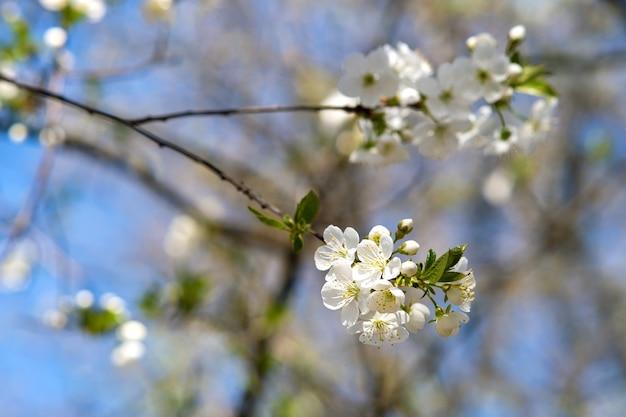 Крупным планом свежие белые цветущие цветы на ветвях деревьев с размытой поверхностью голубого неба ранней весной