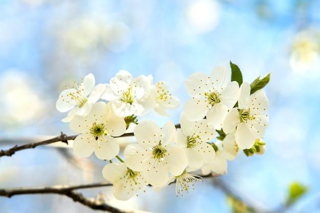 Крупным планом свежие белые цветущие цветы на ветвях деревьев