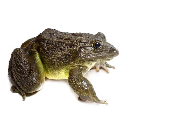 Близкая изолированная лягушка вверх