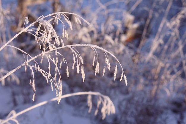 Крупным планом замороженной пампасной травы со снегом и льдом в зимний день