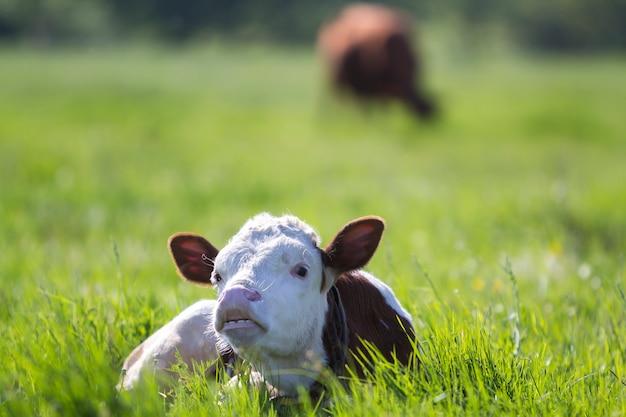 ぼやけた木の背景に新鮮な春の草と緑のフィールドに敷設の歯を示すカメラで見ている面白い白と茶色の子牛のクローズアップ。
