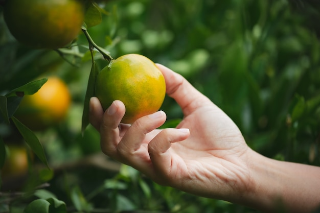 Закройте вверх руки садовника, держащей апельсин и проверки качества апельсина в саду поля апельсинов в утреннее время.