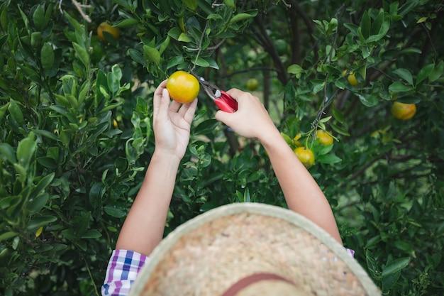 Закройте вверх руки садовника, собирая апельсин ножницами в саду поля апельсинов в утреннее время.